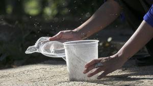 En biolog släpper ut en genmanipulerad mygga i Brasilien.