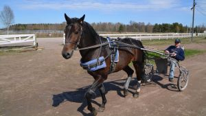 travhäst på lovisa travbana 04.05.16