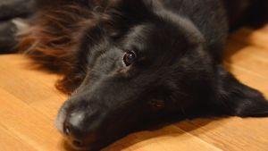 Hunden Lurppas husse dog i en brand och Lurppa fick nytt hem i Lovisa 13.12.16