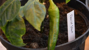 En grön chilifrukt