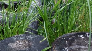 Svartbrända stubbar ramar in frodig växtlighet i rabatt