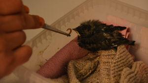 En liten fågelunge i en liten plastask blir matad med pincett.