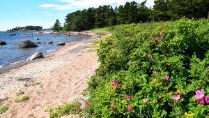 Vresros längs med stranden i Furuvik naturskyddsområde.