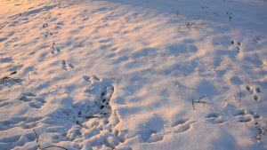 Kaninspår i Böle 7 januari 2016