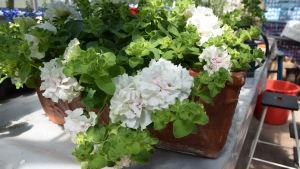 Blomlåda i växthus.