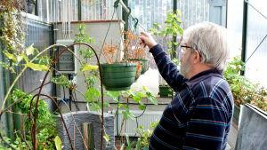 Bernt Olin i sitt växthus