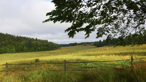 Kor betar i en hage