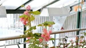 Pelargoner i växthus