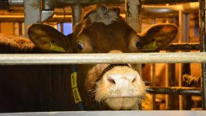 Kon Ida gillar mjölkningsroboten.