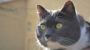 Eija Quinlans katt Zelda, som var bortsprugnen i 3 år (11.04.16)