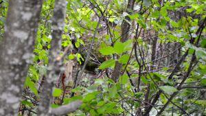 Hulubergsgrottans mynning skymtar mellan träden.