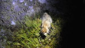 Död mårdhund ligger i skogen.