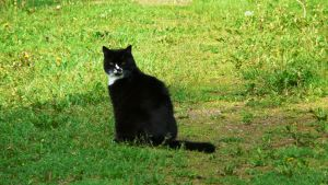 En svart katt vaktar Kycklings hembygdsgård i Lappträsk