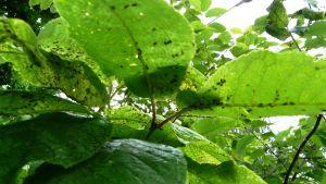 Häggbladlöss hotar i sommar angripa spannmålsodlingar