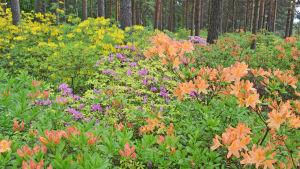 Azaleor i rhododendronparken i Haga