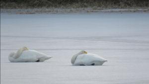 joutsenet nukkuvat jäällä