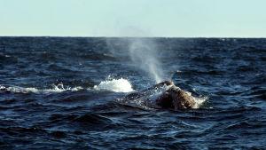 En val simmar i havet utanför södra Sydamerika.