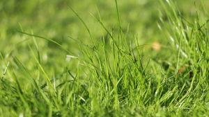 Grönt gräs.