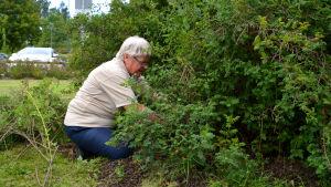 Äldre kvinna sträcker sig in i rosenbuske