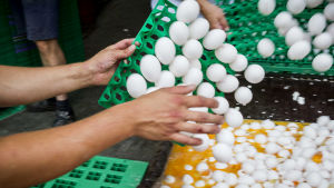 Kontaminerade nederländska ägg förstörs på en hönsgård i Onstwedde genom att kasta dem i en container.