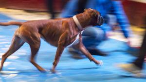 Koira juoksee sirkusmaneesilla.