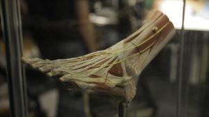 Anatominen malli ihmisen jalasta
