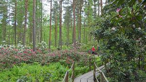 rhododendron i Haga i Helsingfors