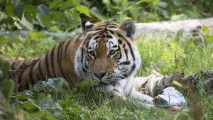 En sibirisk tiger på Högholmen.