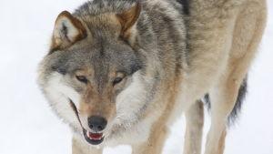 Närbild på en varg.