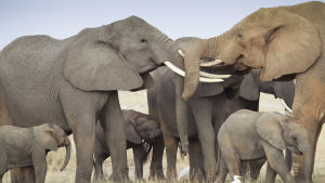 Elephants lock horns as they greet each other at dawn in the Amboseli National Park in southern Kenya, 09 October 2013.