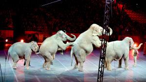 Ringling Brothers cirkuselefanter i januari 2016.