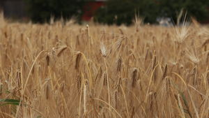 Kornfält i Sundom