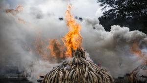 Högar av elfenben brinner och luften är full av tjock rök.