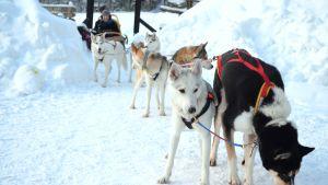 Hundar i hundspann i Noux nationalpark på vintern.
