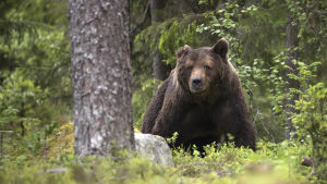 Karhu-uros on menettänyt puolet korvastaan kiima-ajan taisteluissa alueen muiden urosten kanssa. Karhun elämä on jatkuvaa riskien hallintaa.