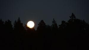 Månen bland trädtopparna.