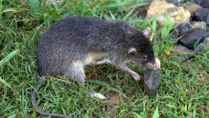 Råtta