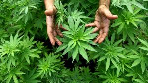Jordiga händer runt en cannabisplanta.