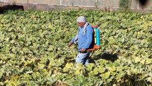 Palestinsk bonde vattnar sin odling i Hebron på Västbanken