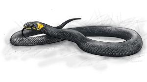 Piirroskuva rantakäärme