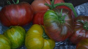 Gula och röda tomater.