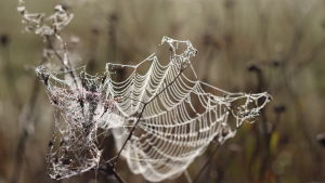 Spindelnät täckt av morgondagg