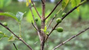 Kaffebuske i Etiopien.