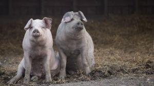kaksi nuorta sikaa