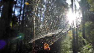 Hämähäkin verkko metsässä auringon valossa