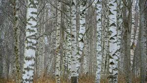 Närbild på flera björkar utan löv