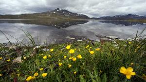 Tunturi-ja järvimaisema,keltaisia kukkia etualalla