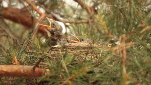 björktrast fågelungar