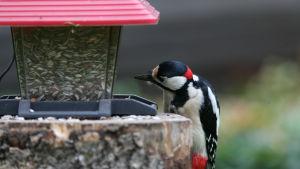 Käpytikka etsii ruokaa lintulaudalta.