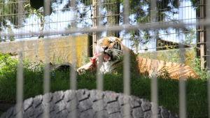 Tigern Tamur på Hogholmen